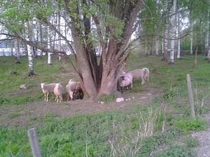 Lampaat kesätöissä :)
